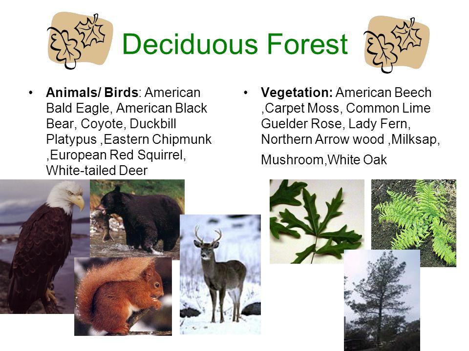 Deciduous Forest Animals/ Birds: American Bald Eagle, American Black Bear, Coyote, Duckbill Platypus,Eastern Chipmunk,European Red Squirrel, White-tai