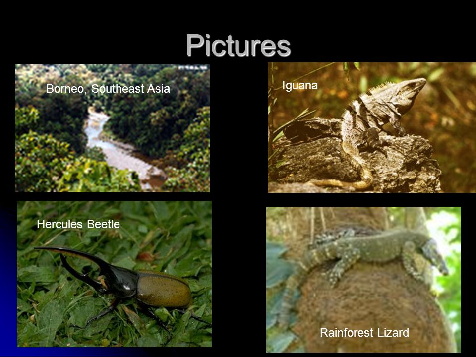 Pictures Hercules Beetle Borneo, Southeast Asia Iguana Rainforest Lizard