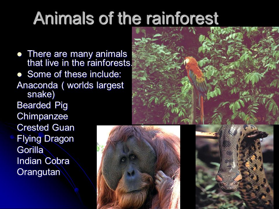 Animals of the rainforest There are many animals that live in the rainforests.