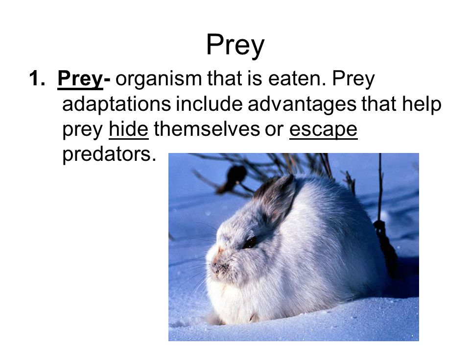 Prey 1. Prey- organism that is eaten.