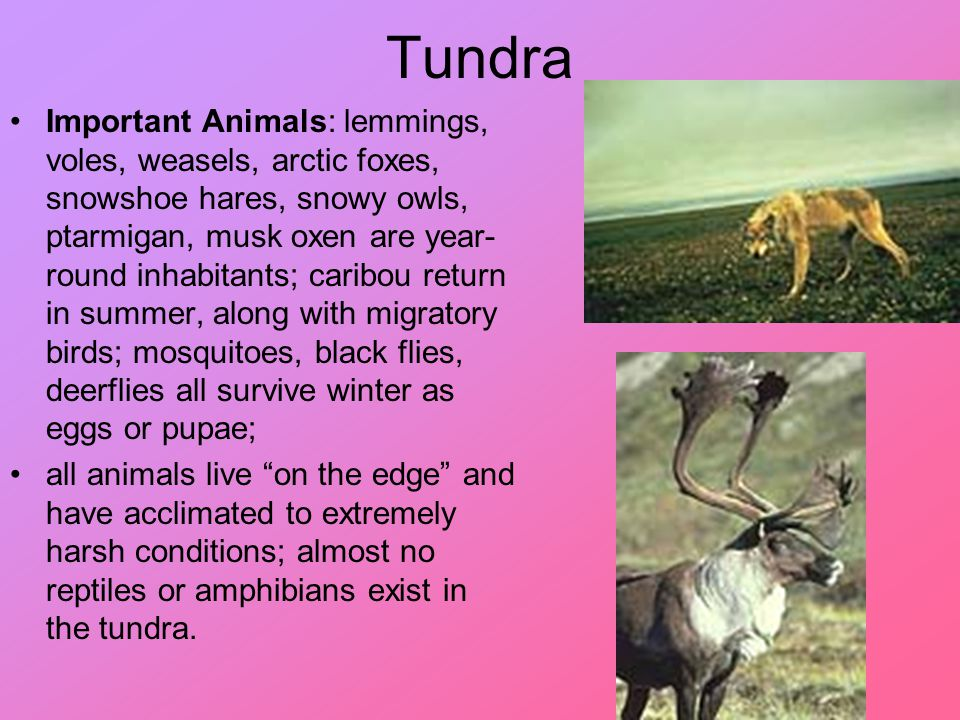 Tundra Important Animals: lemmings, voles, weasels, arctic foxes, snowshoe hares, snowy owls, ptarmigan, musk oxen are year- round inhabitants; caribo