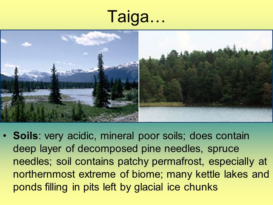 Taiga… Soils: very acidic, mineral poor soils; does contain deep layer of decomposed pine needles, spruce needles; soil contains patchy permafrost, es