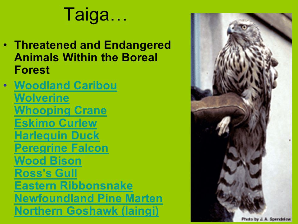 Taiga… Threatened and Endangered Animals Within the Boreal Forest Woodland Caribou Wolverine Whooping Crane Eskimo Curlew Harlequin Duck Peregrine Fal