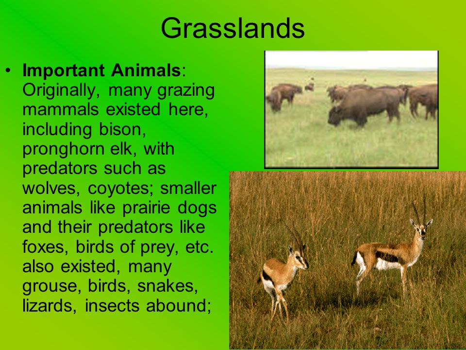 Grasslands Important Animals: Originally, many grazing mammals existed here, including bison, pronghorn elk, with predators such as wolves, coyotes; s