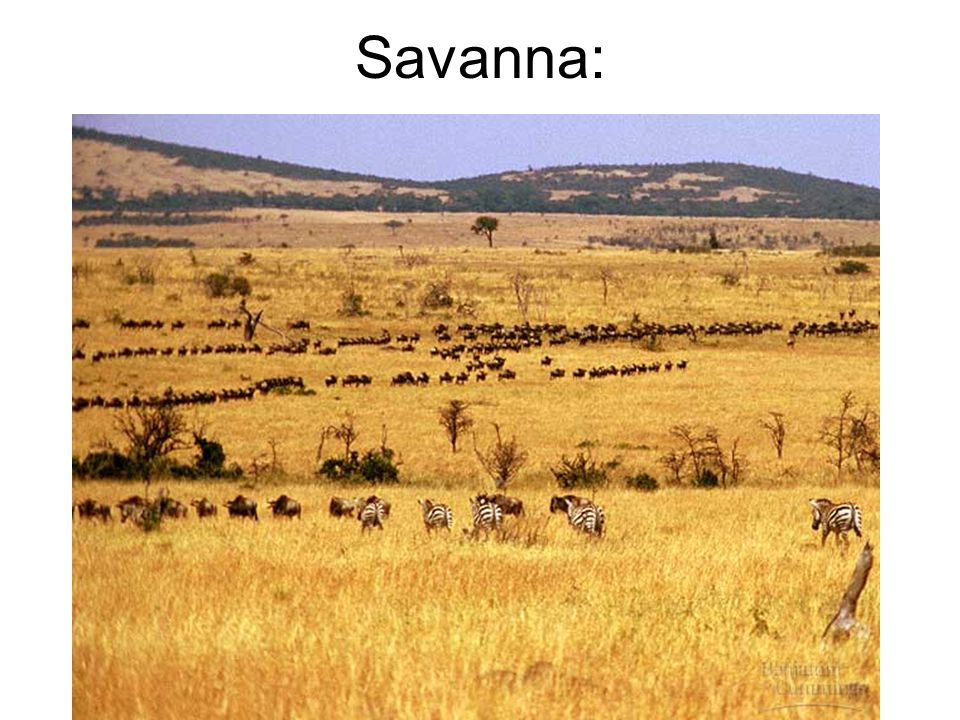 Savanna: