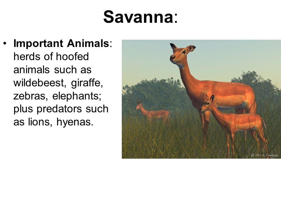 Savanna: Important Animals: herds of hoofed animals such as wildebeest, giraffe, zebras, elephants; plus predators such as lions, hyenas.