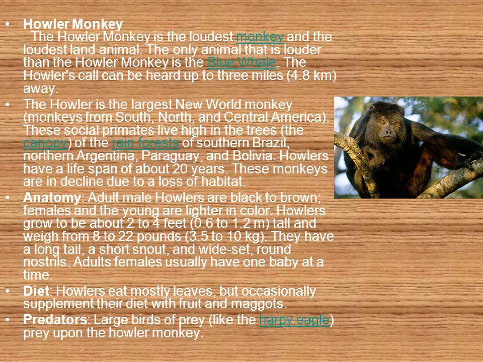Howler Monkey The Howler Monkey is the loudest monkey and the loudest land animal. The only animal that is louder than the Howler Monkey is the Blue W