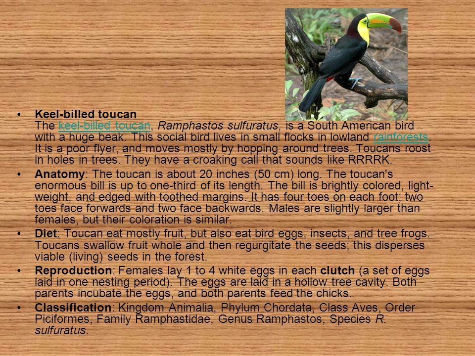 Keel-billed toucan The keel-billed toucan, Ramphastos sulfuratus, is a South American bird with a huge beak.