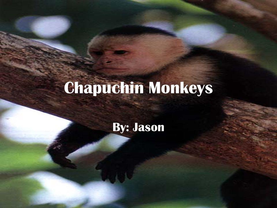 Chapuchin Monkeys By: Jason