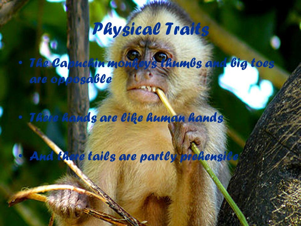 Physical Traits The Capuchin monkeys thumbs and big toes are opposable There hands are like human hands And there tails are partly prehensile