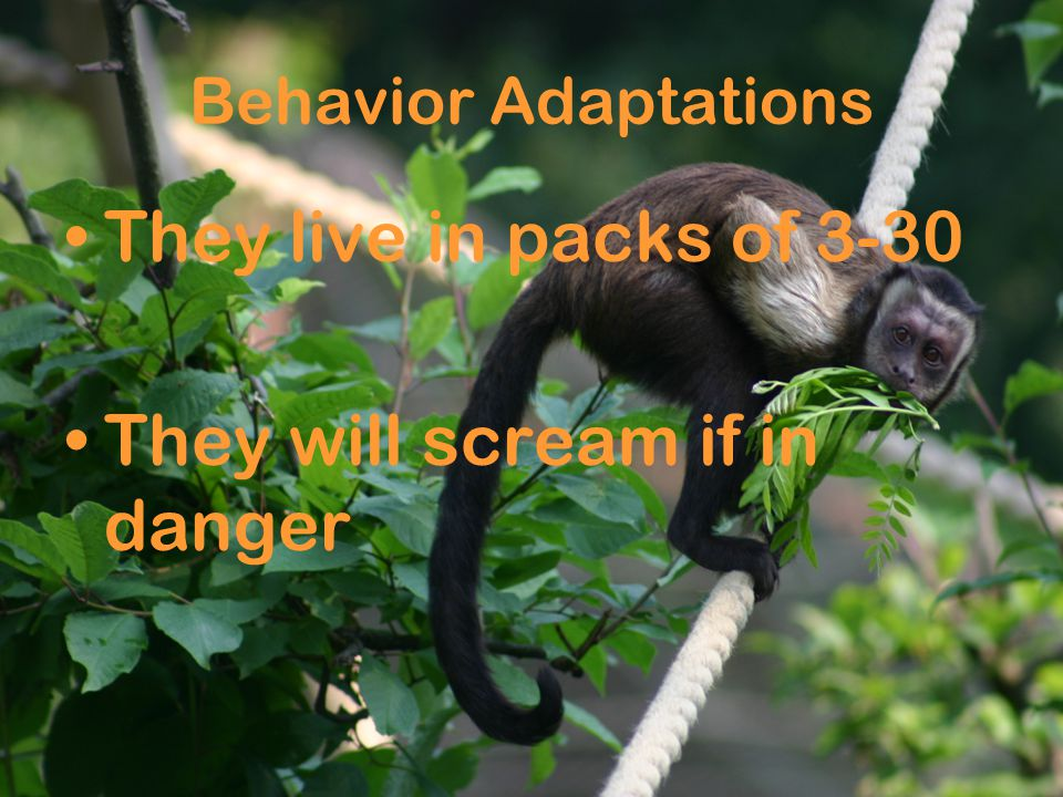 Behavior Adaptations They live in packs of 3-30 They will scream if in danger
