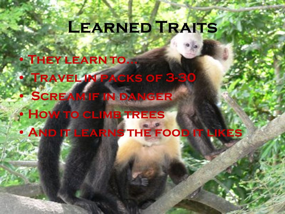 Learned Traits They learn to… Travel in packs of 3-30 Scream if in danger How to climb trees And it learns the food it likes
