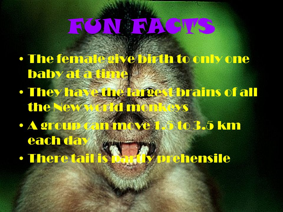 FUN FACTS The female give birth to only one baby at a time They have the largest brains of all the New world monkeys A group can move 1.5 to 3.5 km ea