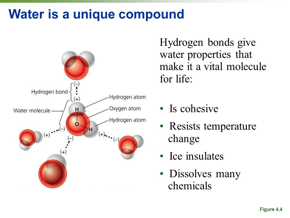 Water is a unique compound Hydrogen bonds give water properties that make it a vital molecule for life: Is cohesive Resists temperature change Ice insulates Dissolves many chemicals Figure 4.4