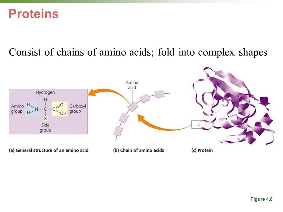 Proteins Consist of chains of amino acids; fold into complex shapes For structure, energy, immune system, hormones, enzymes Figure 4.8