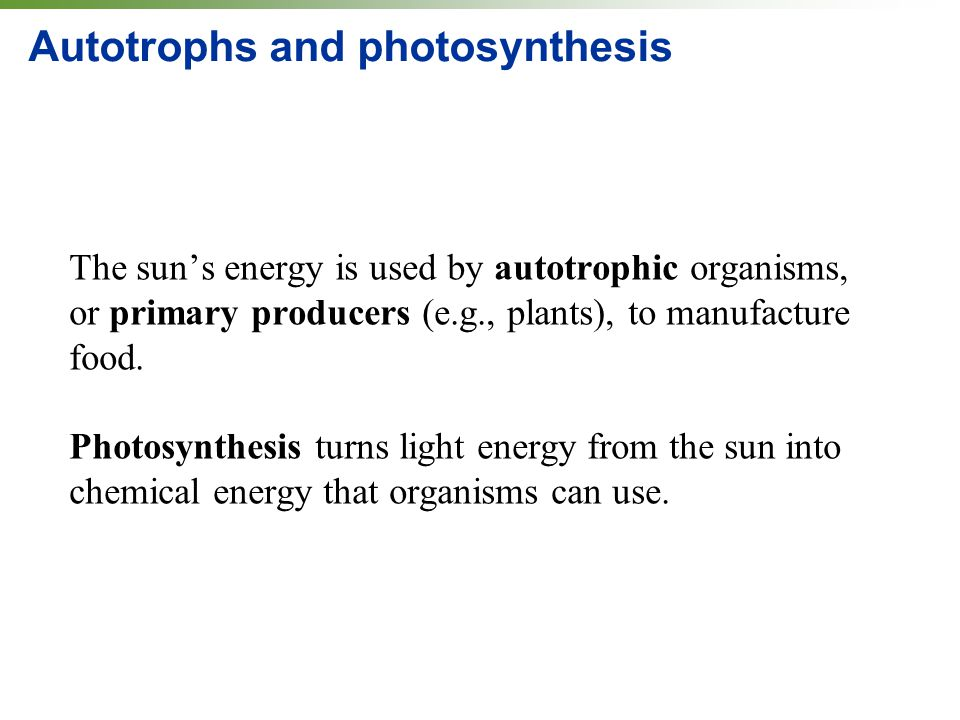 Autotrophs and photosynthesis The sun's energy is used by autotrophic organisms, or primary producers (e.g., plants), to manufacture food.