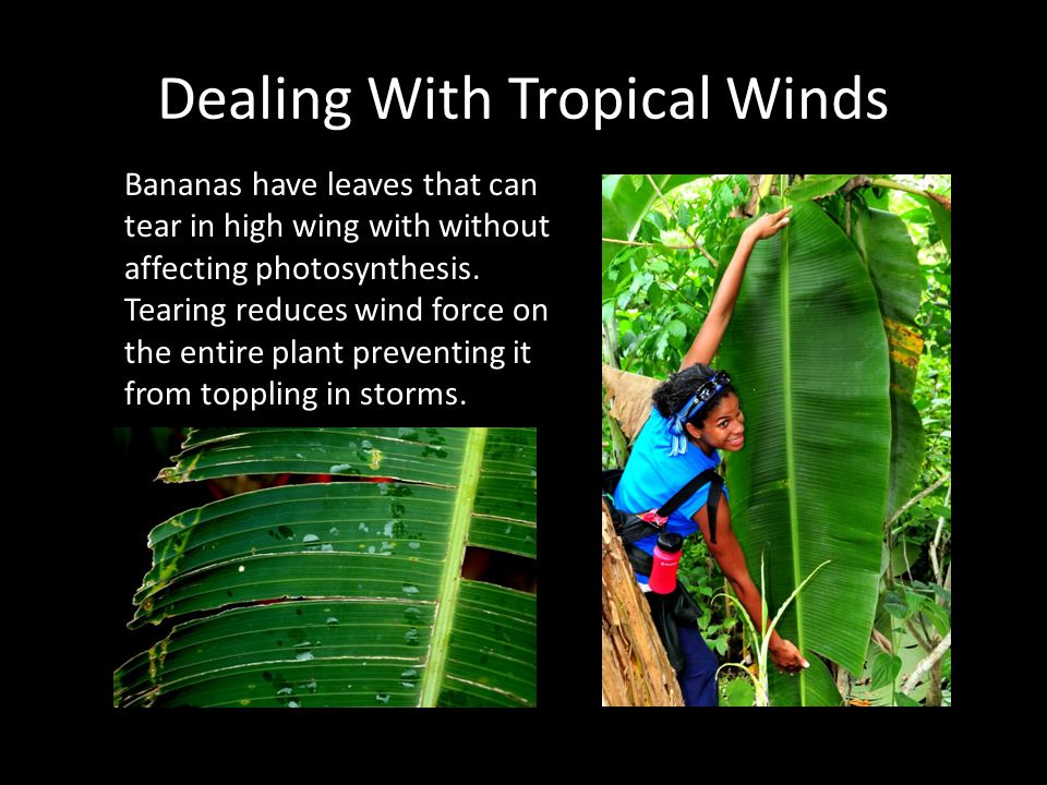 Dealing With Tropical Winds Bananas have leaves that can tear in high wing with without affecting photosynthesis. Tearing reduces wind force on the en