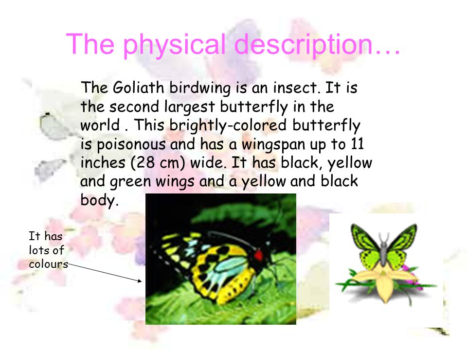 The physical description… The Goliath birdwing is an insect.