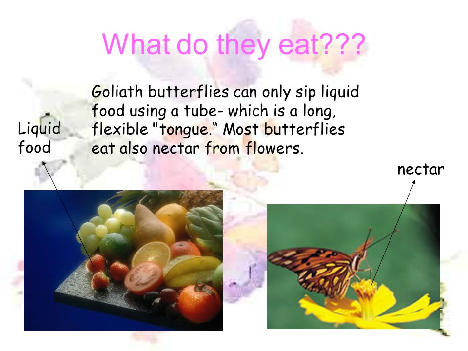 Where can we find it? The butterfly lives in tropical forests in Indonesia. Family Papilionidae. Tropical rainforest of Indonesia