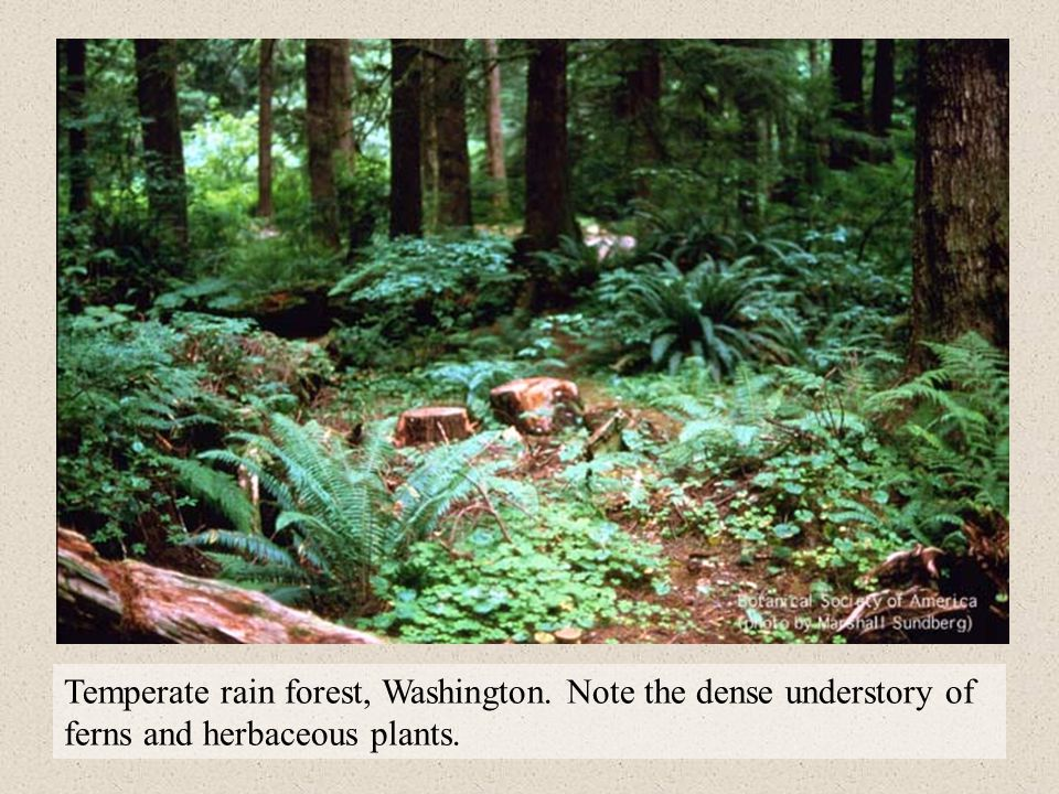 Temperate rain forest, Washington. Note the dense understory of ferns and herbaceous plants.
