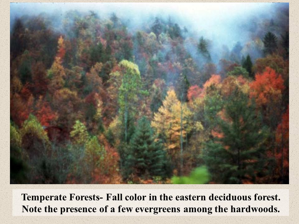 Temperate Forests- Fall color in the eastern deciduous forest. Note the presence of a few evergreens among the hardwoods.