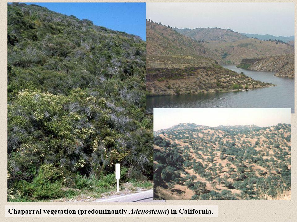 Chaparral vegetation (predominantly Adenostema) in California.