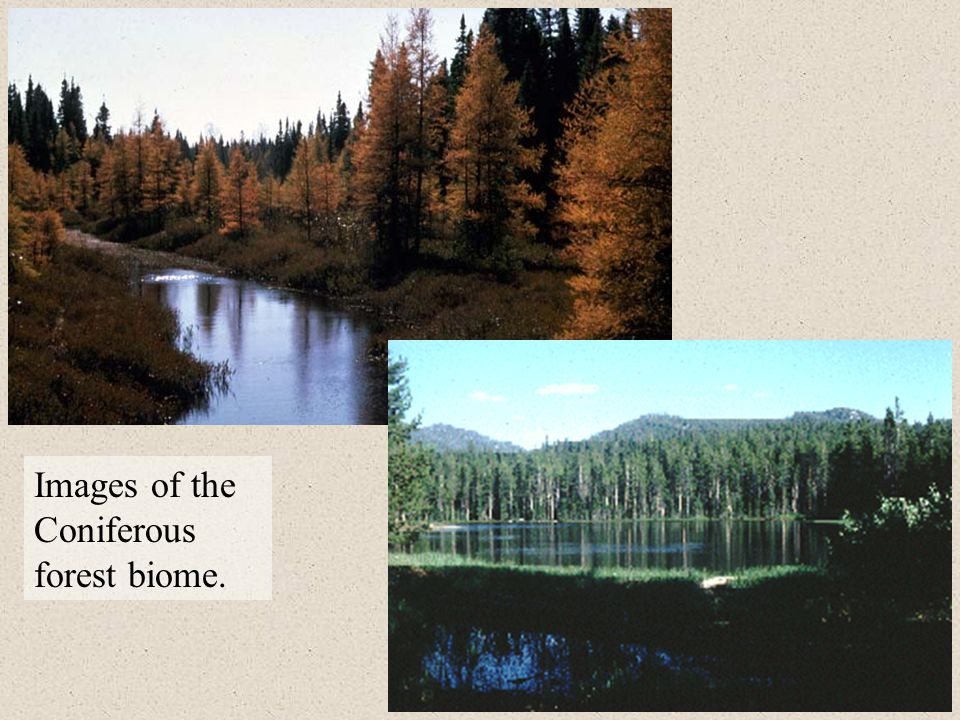Images of the Coniferous forest biome.