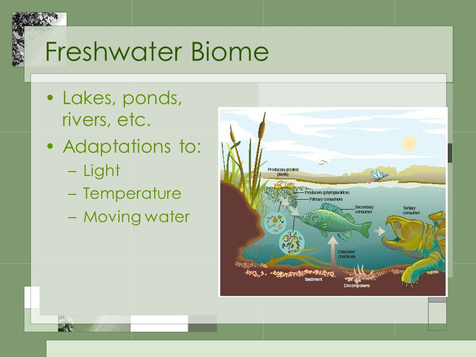 Freshwater Biome Lakes, ponds, rivers, etc. Adaptations to: –Light –Temperature –Moving water