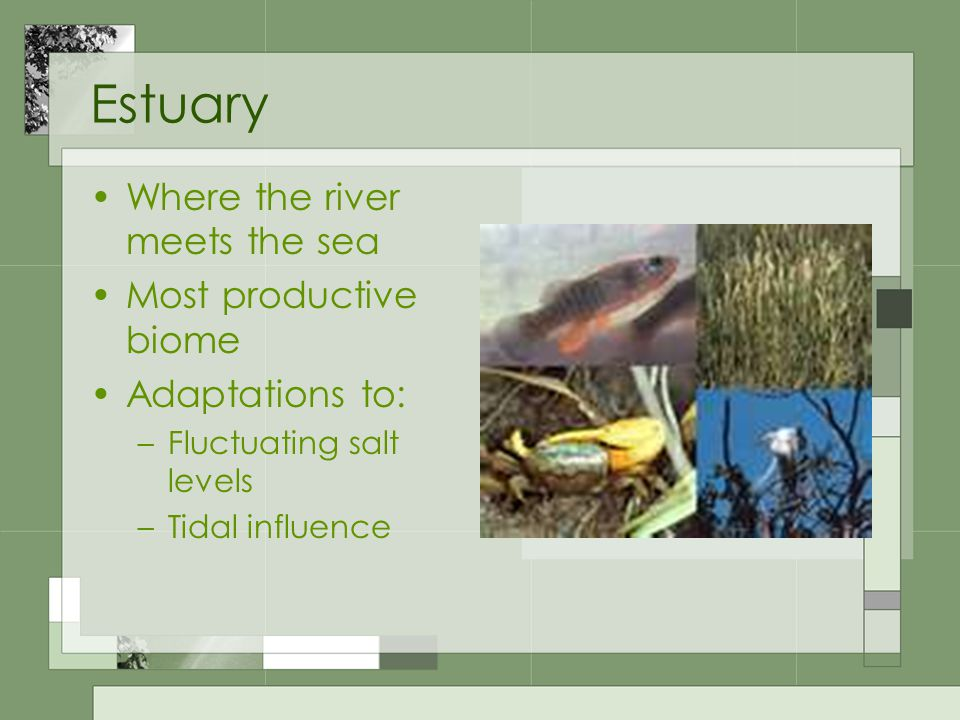 Estuary Where the river meets the sea Most productive biome Adaptations to: –Fluctuating salt levels –Tidal influence
