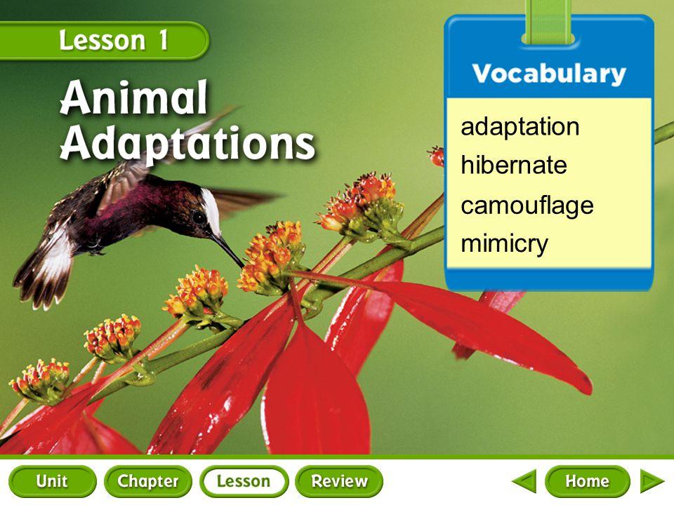 adaptation hibernate camouflage mimicry Lesson 1 Splash