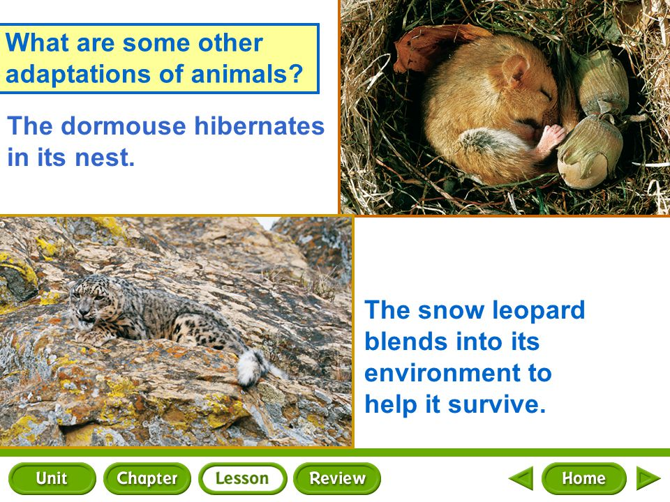 What are some other adaptations of animals.The dormouse hibernates in its nest.