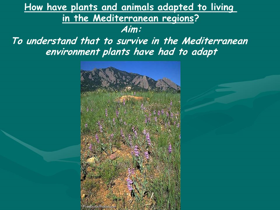 How have plants and animals adapted to living in the Mediterranean regions? Aim: To understand that to survive in the Mediterranean environment plants