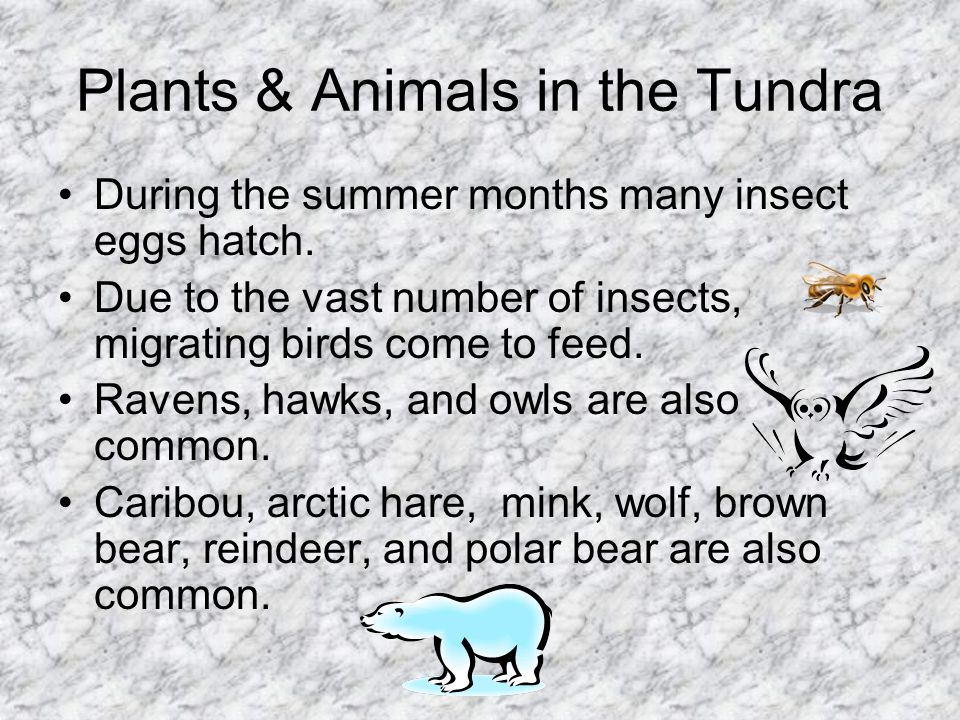 Plants & Animals in the Tundra During the summer months many insect eggs hatch. Due to the vast number of insects, migrating birds come to feed. Raven