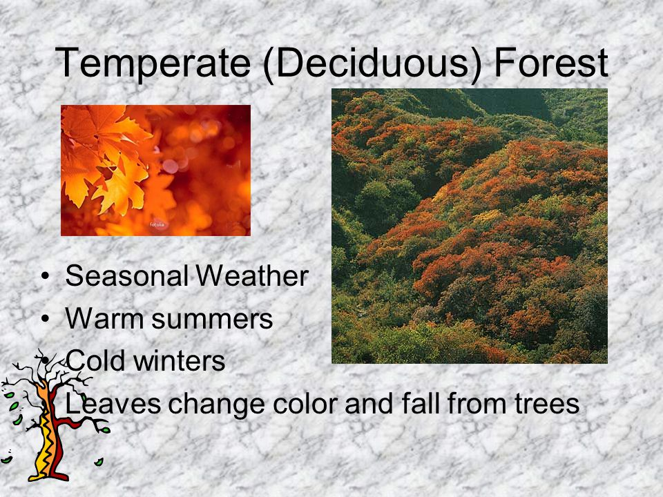 Temperate (Deciduous) Forest Animals must adjust, or adapt, to cold winters and hot summers Black Bear and Brown Bear Fox White-tailed deer Cardinal