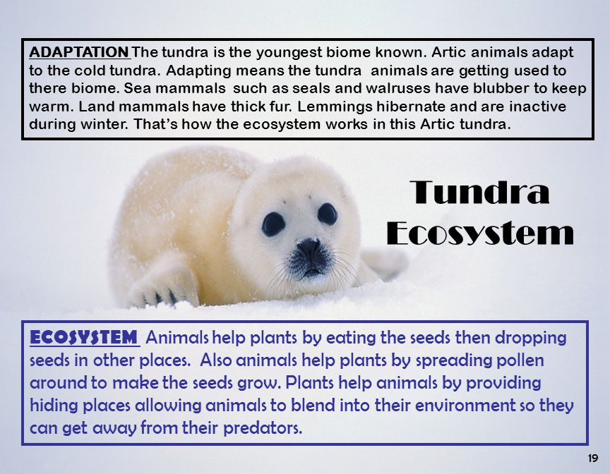 Tundra Ecosystem ADAPTATION The tundra is the youngest biome known. Artic animals adapt to the cold tundra. Adapting means the tundra animals are gett