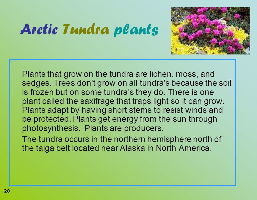 Arctic Tundra plants Plants that grow on the tundra are lichen, moss, and sedges. Trees don't grow on all tundra's because the soil is frozen but on s