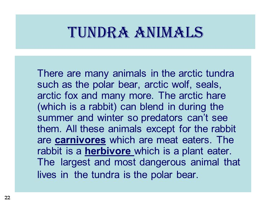 Tundra animals There are many animals in the arctic tundra such as the polar bear, arctic wolf, seals, arctic fox and many more. The arctic hare (whic
