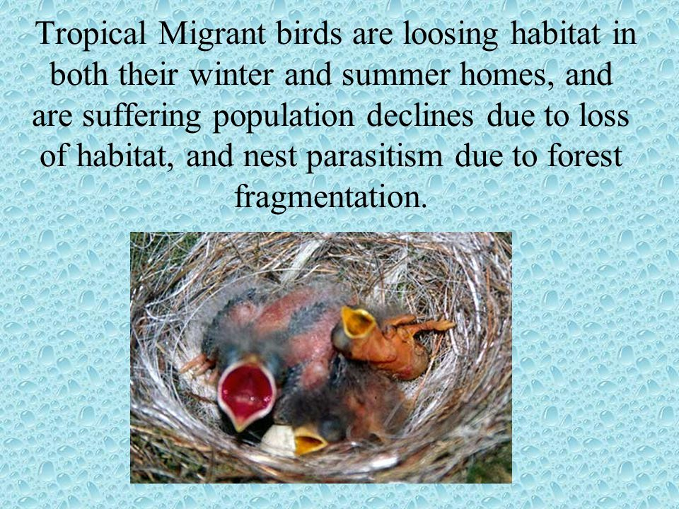 Tropical Migrant birds are loosing habitat in both their winter and summer homes, and are suffering population declines due to loss of habitat, and nest parasitism due to forest fragmentation.