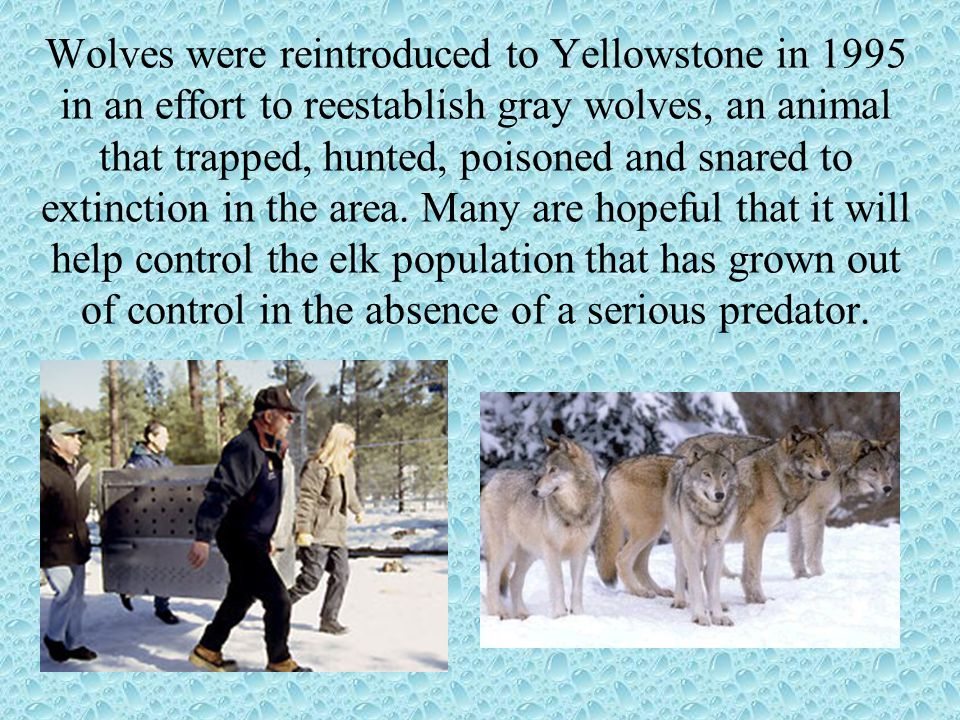Wolves were reintroduced to Yellowstone in 1995 in an effort to reestablish gray wolves, an animal that trapped, hunted, poisoned and snared to extinction in the area.