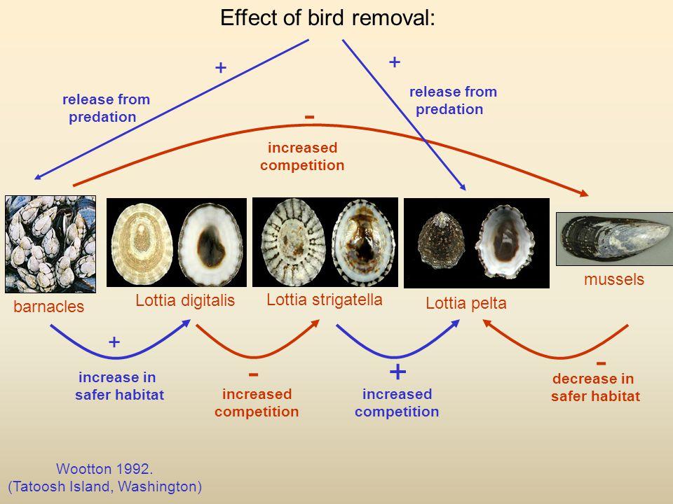 mussels barnacles Lottia pelta Lottia strigatella Lottia digitalis Wootton 1992.