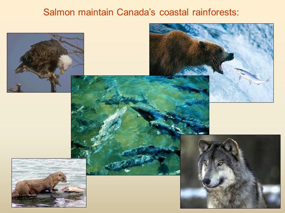 Salmon maintain Canada's coastal rainforests: