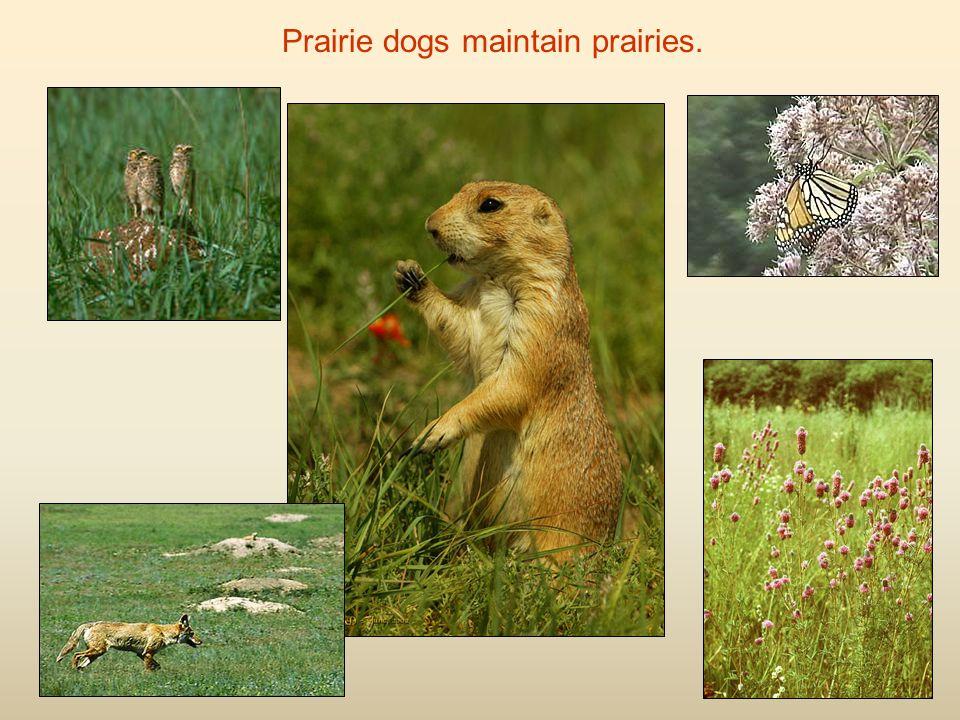 Prairie dogs maintain prairies.