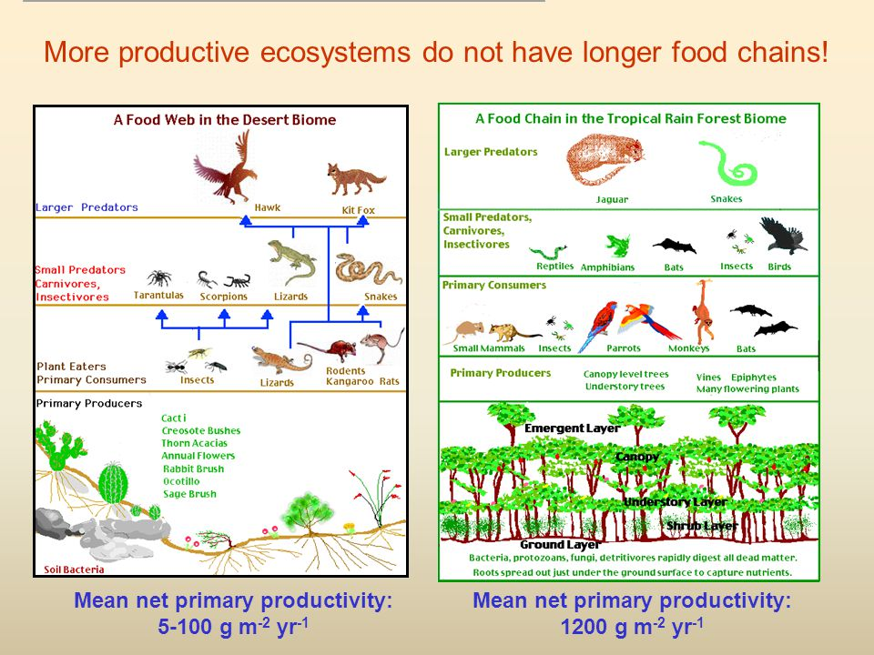 Mean net primary productivity: 1200 g m -2 yr -1 Mean net primary productivity: 5-100 g m -2 yr -1 More productive ecosystems do not have longer food chains!