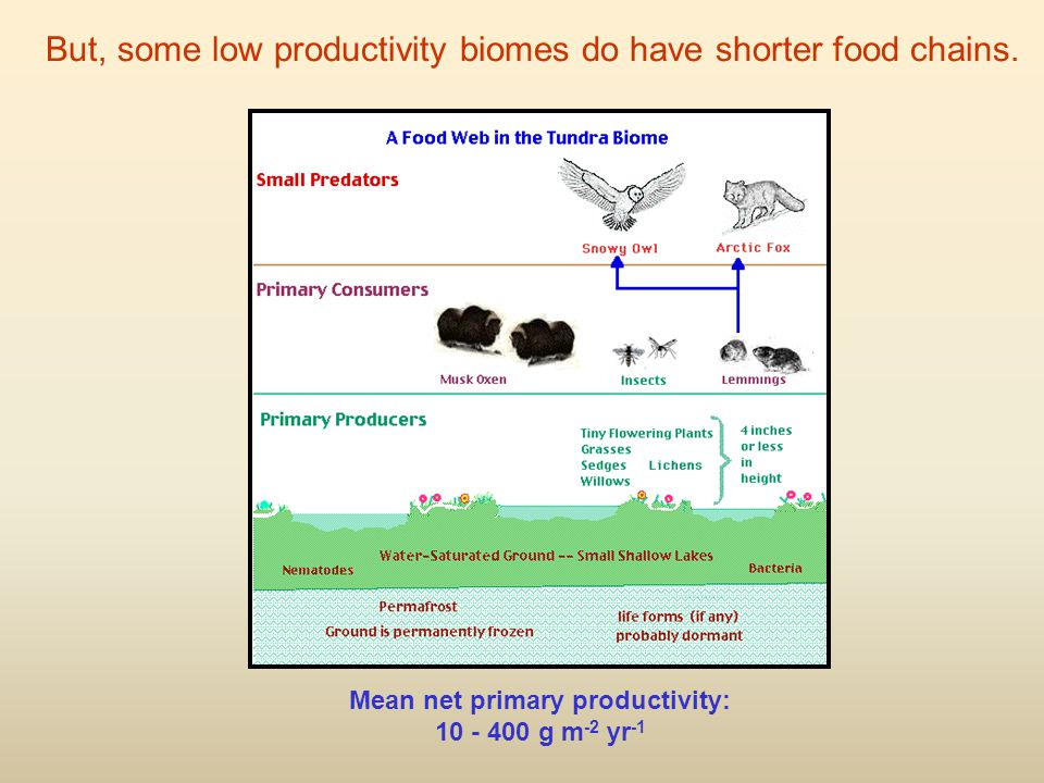 Mean net primary productivity: 10 - 400 g m -2 yr -1 But, some low productivity biomes do have shorter food chains.
