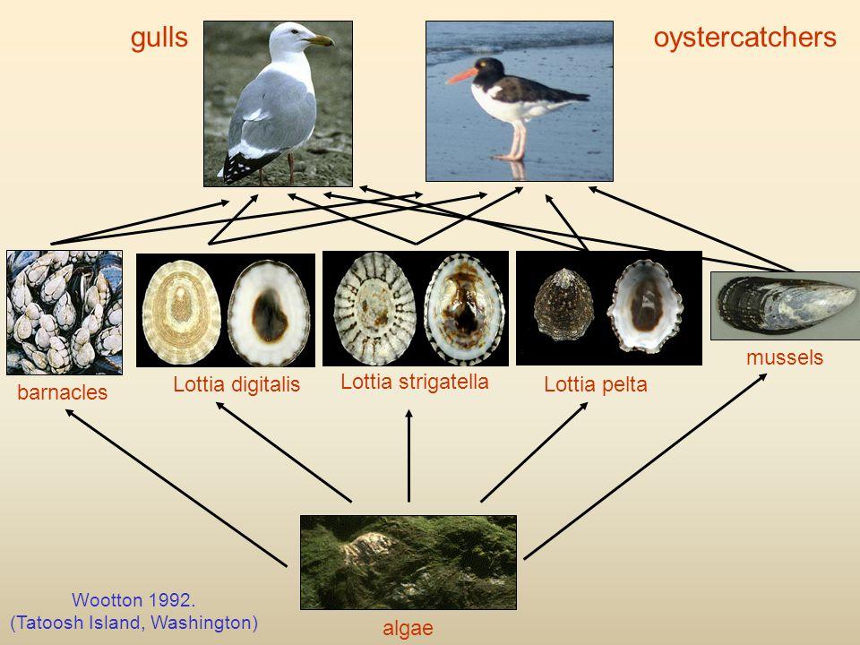 mussels barnacles algae gullsoystercatchers Lottia pelta Lottia strigatella Lottia digitalis Wootton 1992.