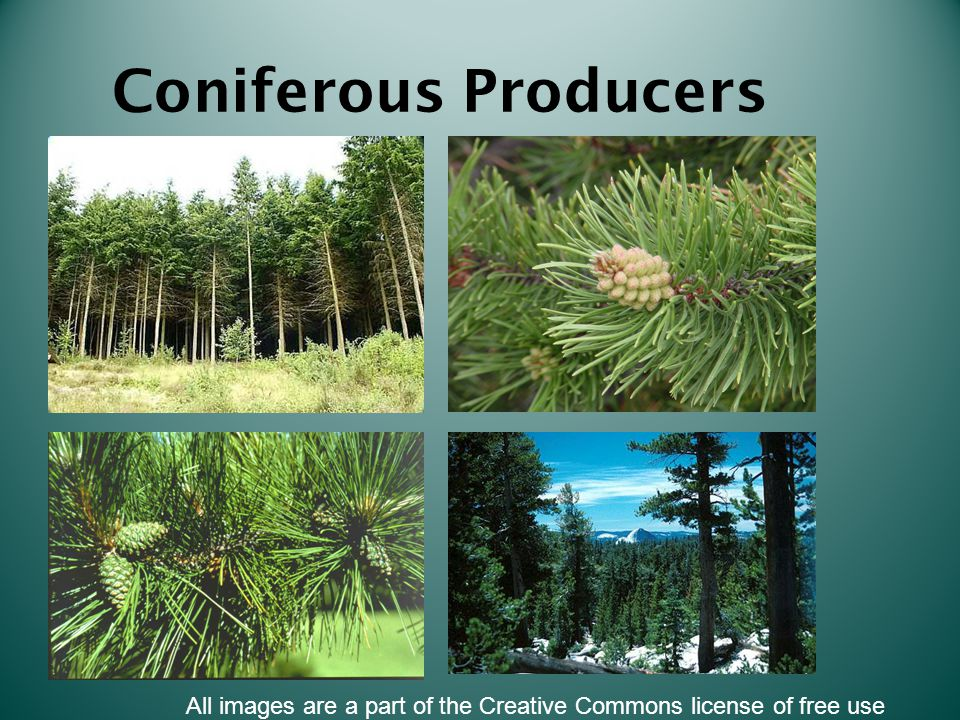 Coniferous Producers All images are a part of the Creative Commons license of free use