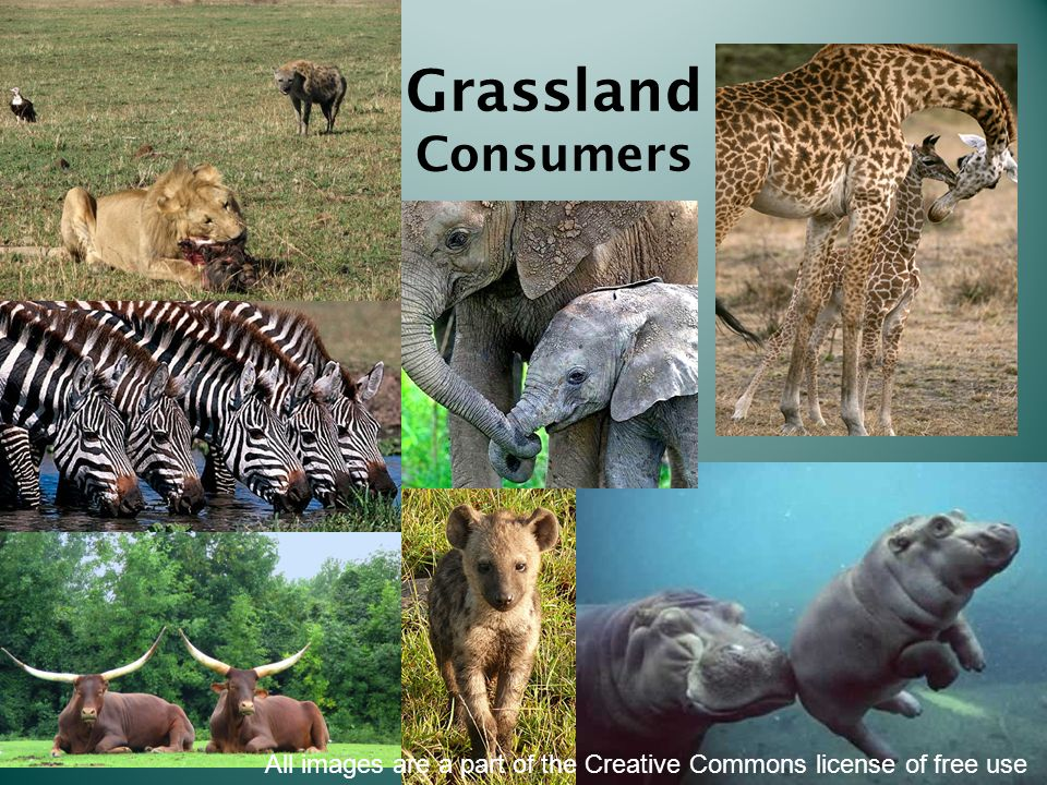 Grassland Consumers All images are a part of the Creative Commons license of free use