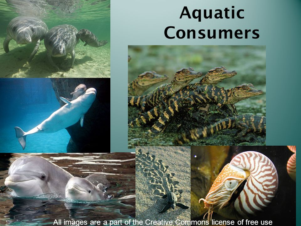 Aquatic Consumers All images are a part of the Creative Commons license of free use
