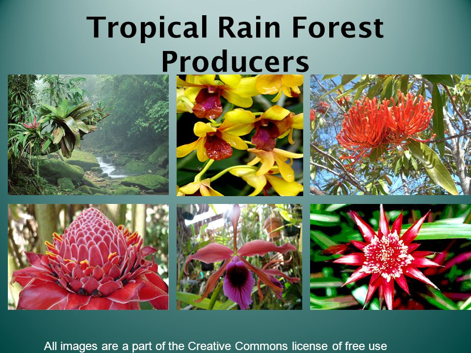 Tropical Rain Forest Producers All images are a part of the Creative Commons license of free use