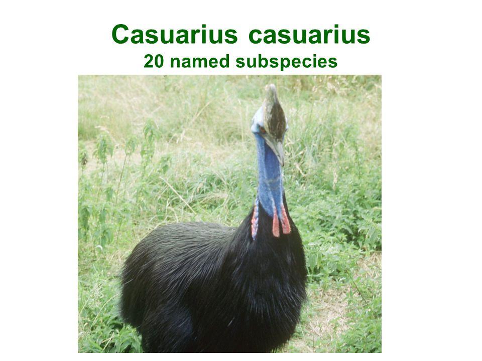 Casuarius casuarius 20 named subspecies